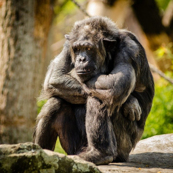 chimpanzee 978809 1280