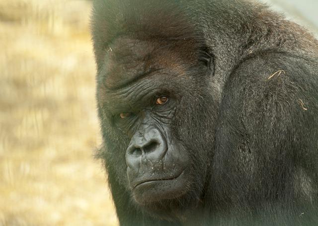 gorilla 4360070 640